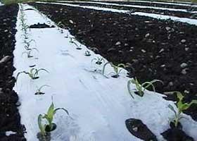 「ゆめのコーン」栽培風景