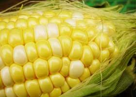 加納農園の加納孝一郎さんが栽培した、とても甘いトウモロコシ「ゆめのコーン」を産地直送!