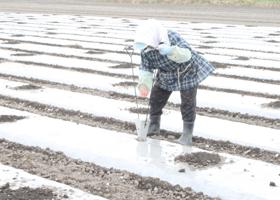 トウモロコシ「嶽きみ」滝吉農園から直送
